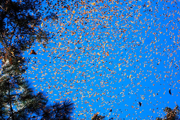 Migração da Borboleta Monarca, Estados Unidos e México.