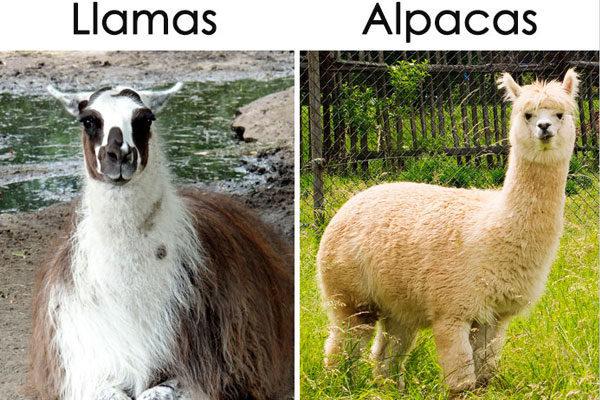 Lhamas e Alpacas