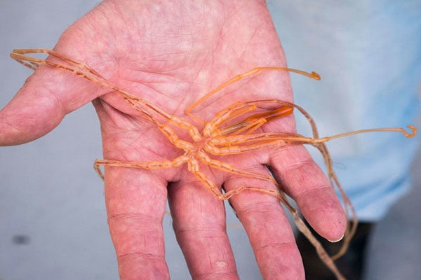 Aranhas marinhas gigantes
